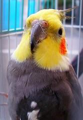 cockatoo, animal, lovebird, wing, pet, fauna, cockatiel, common pet parakeet, beak, bird,