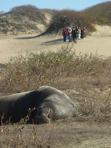 Elephant seals in California: Ano Nuevo State Park