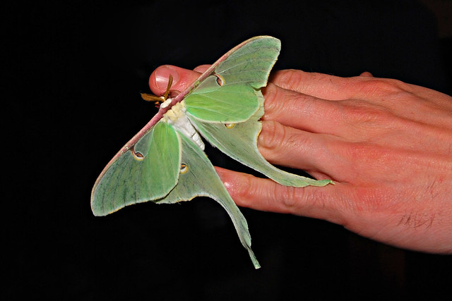 A very cool Luna Moth that Jeff caught