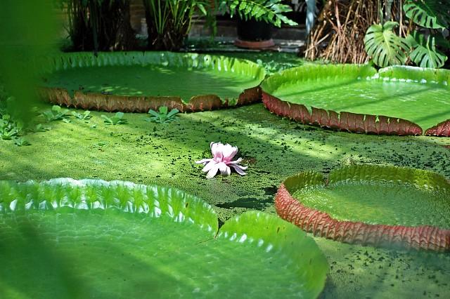 Header of Amazonica