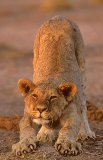 Young Lion stretching Etosha National Park Namibia