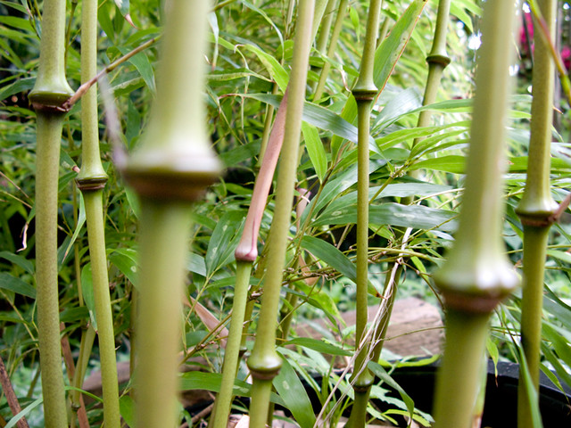 Bamboo Qiongzhuea tumidissinoda (Chinese Walking Stick Bamboo)