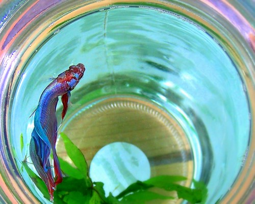 Abdominal bleeding in betta with dropsy fish care for Bloated betta fish