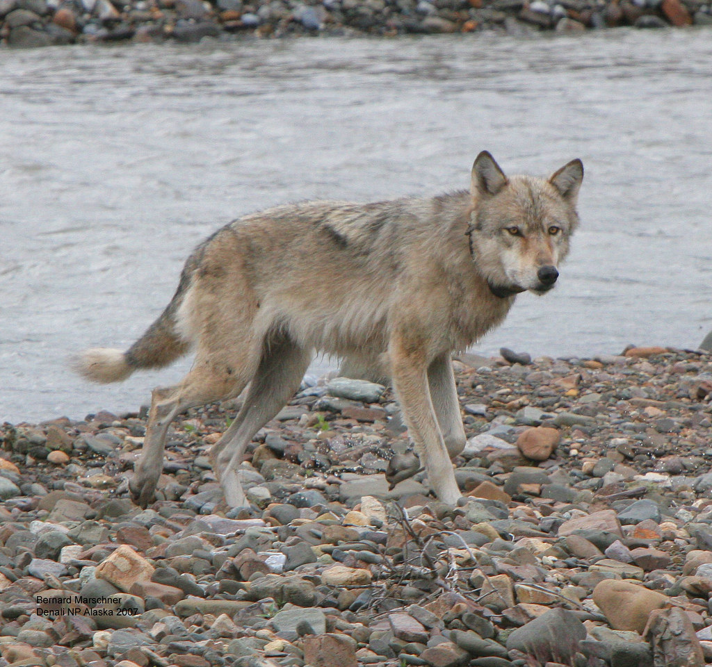 Denali Wolf (East Fork Alpha Female) | I only know it is the