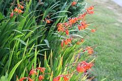 prairie, flower, garden, grass, plant, crocosmia 㗠crocosmiiflora, crocosmia, gladiolus, herb, wildflower, flora, meadow,