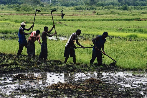 Men tilling a rice paddie on an irrigation project