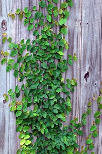 Fig Ivy Flickr Photo Sharing