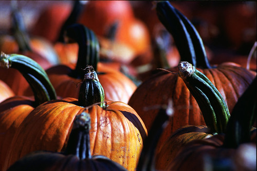 Halloween Pumpkins at the field.