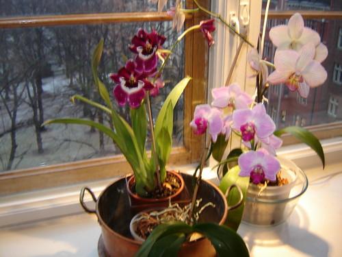 Ensimmäiset kuvat. Orkideat