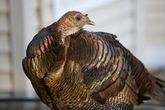 wildlife(0.0), turkey(1.0), animal(1.0), wing(1.0), fauna(1.0), close-up(1.0), ruffed grouse(1.0), wild turkey(1.0), domesticated turkey(1.0), beak(1.0), bird(1.0), galliformes(1.0),