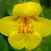 monkeyflowers - Photo (c) James Gaither, some rights reserved (CC BY-NC-ND)