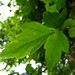 Small photo of Acer negundo