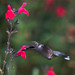 Humming Bird through the 300mm f2.8 by axsnyder
