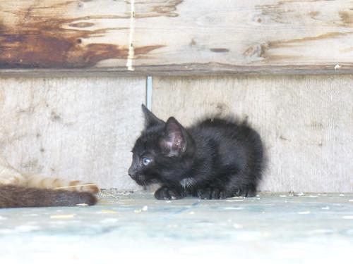 cats black cute barn kittens august 2010 82010