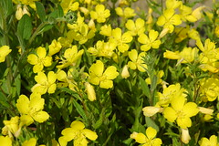 canola, flower, yellow, brassica rapa, chelidonium, subshrub, herb, wildflower, flora, rue, common tormentil, rapeseed,