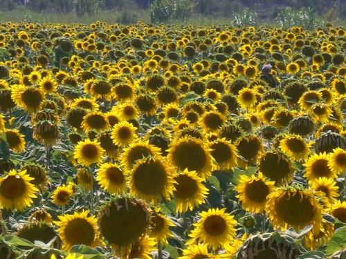 Fattoria Palazetta, Field of Sunflowers, Cecina, Tuscany, Italy