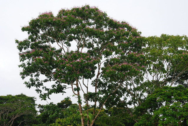 Almond tree in flower | The monkeys love almonds. The ...