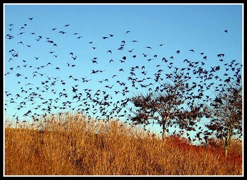 Blackbirds at Dusk, Asheville, North Carolina by moonjazz