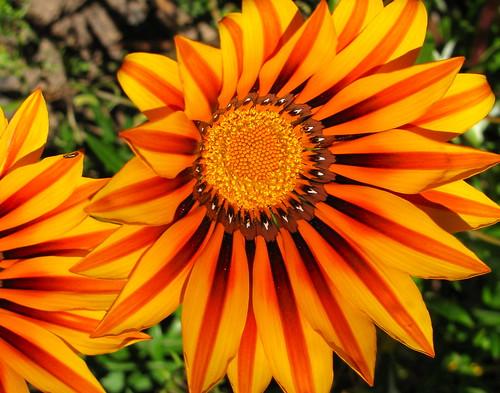 Flores de Melosilla