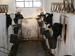 slaughterhouse(0.0), cattle-like mammal(1.0), dairy(1.0), stall(1.0), dairy cow(1.0), stable(1.0), cattle(1.0),