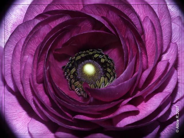 Marimonia - Ranunculus asiaticus