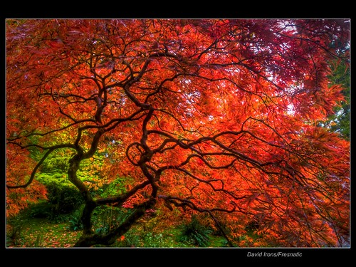 Japanese Maple HDR