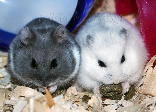 Philadelphia Hamster: Blue Russian Campbell's Dwarf ...  Philadelphia Ha...