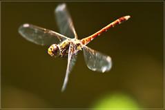 libelula volando