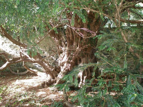 The Fortingall Yew, said to be
