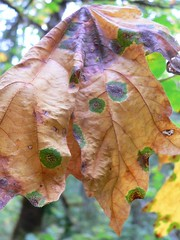 Dead leaf with blight