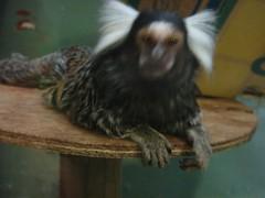 wing(0.0), animal(1.0), mammal(1.0), fauna(1.0), marmoset(1.0), new world monkey(1.0),