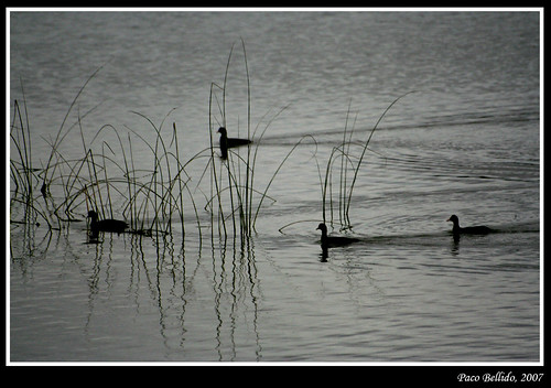 Common coots (Fulica Atra)