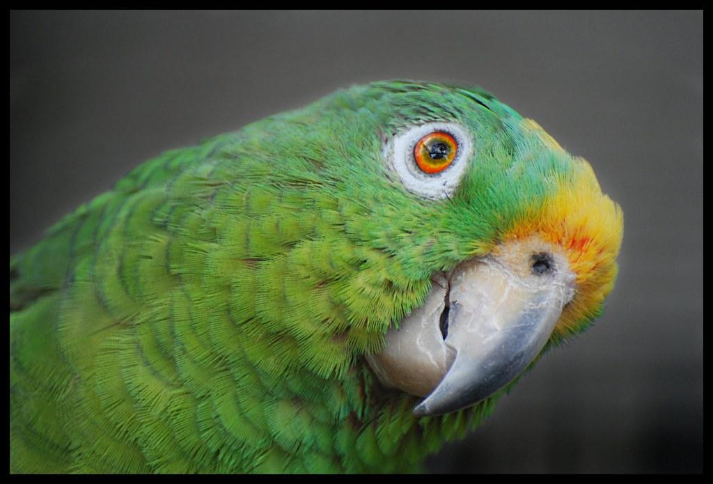Flickr photos of yellow-crowned amazon amazona ... Yellow Crowned Amazon