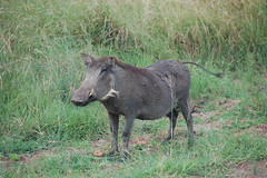 peccary(0.0), grazing(0.0), animal(1.0), wild boar(1.0), pig(1.0), fauna(1.0), pig-like mammal(1.0), warthog(1.0), wildlife(1.0),