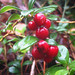 Lingonberry - Photo (c) Stefan Jansson, some rights reserved (CC BY-NC-SA)