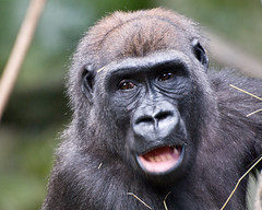 chimpanzee(1.0), animal(1.0), western gorilla(1.0), mammal(1.0), great ape(1.0), gorilla(1.0), fauna(1.0), common chimpanzee(1.0), macaque(1.0), ape(1.0), wildlife(1.0),