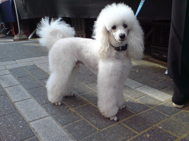 drive-by shooting of a white poodle