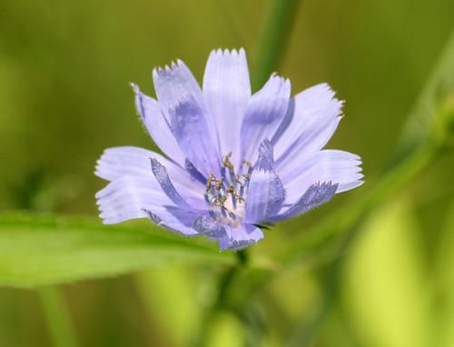Chickory, Cichorium intybus