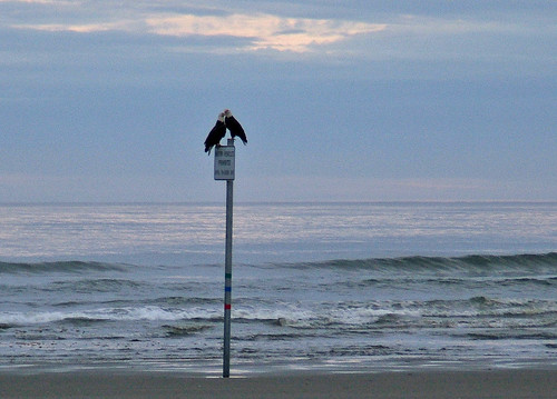ocean summer love beach birds sunrise eagle baldeagle pacificocean haliaeetusleucocephalus oceanshoreswa featheryfriday july2007 shesnuckinfuts