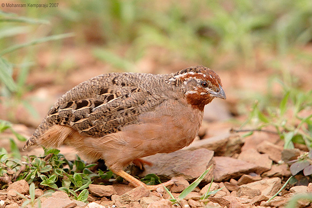 Jungle Bush Quail - female