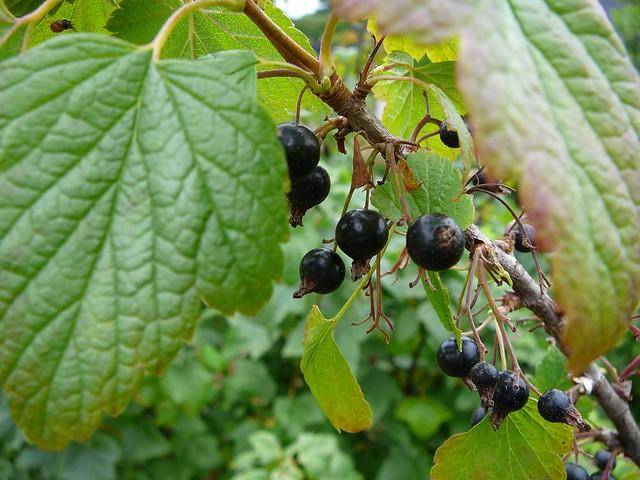 Ribes nigrum ´Consort´ Black Currant