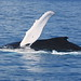Hervey Bay Whales 3901