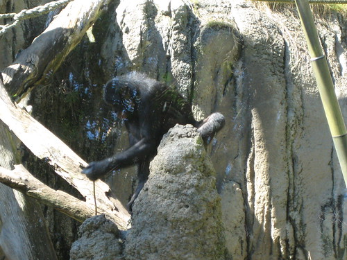 Bonobo using a stick