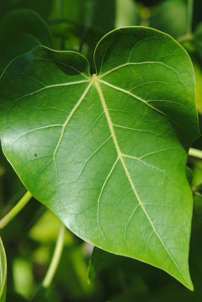 seaside mahoe  wonderful bright green heart shaped leaves flickr photo sharing