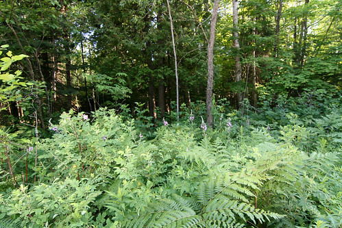 Bracken Fern near the trail...