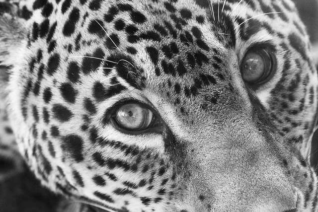 Jaguar - Black and White - a photo on Flickriver