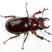 Reddish-brown Stag Beetle - Photo (c) Patrick Coin, some rights reserved (CC BY-NC-SA)