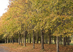 birch, deciduous, branch, leaf, tree, plant, grove, temperate broadleaf and mixed forest, autumn,