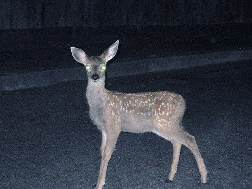 A deer in the Headlights