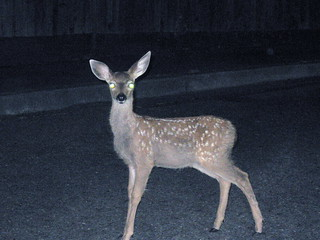 [Deer, Headlights]